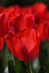 Red (KsCattails) Tags: flower kscattails macro red spring tulip bright jccc garden campus