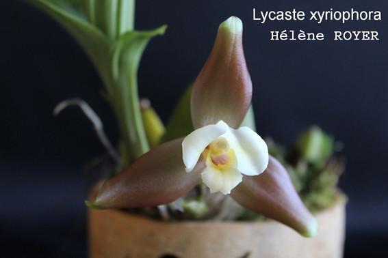 lycast_ xyriophora-small