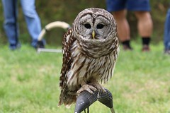 Barred owl (n4qq) Tags: barredowl meadowside nature center raptor festival