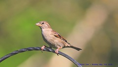 House Sparrow..... (law_keven) Tags: housesparrow sparrow bird birds catford london england avian wildlife wildlifephotography