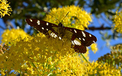 Butterfly 1 (orientalizing) Tags: butterfly desktop featured flowers greece insects leontaki mani pepon plants southernpeloponnese