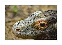 Komodo dragon (Varanus komodoensis) (prendergasttony) Tags: varanuskomodoensis lizard florida america tonyprendergast nikon d7200 dragon wildlife nature scales monitor komodo