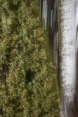 kataja ja koivu (sami kuosmanen) Tags: suomi spring nature north europe exposure expression luonto light long puu pitkä valo valotus värikäs colorful creative intentionalcameramovement icm tree trees finland forest flash kuusankoski kouvola bokeh blur