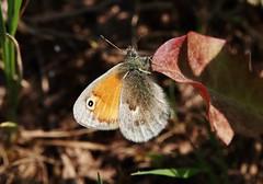 Kleines Wiesenvögelchen (Coenonympha pamphilus) (Hugo von Schreck) Tags: hugovonschreck butterfly schmetterling falter insect insekt macro makro kleineswiesenvögelchen coenonymphapamphilus fantasticnature canoneos5dsr tamron28300mmf3563divcpzda010