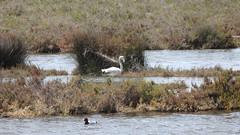 Junger Flamingo und Tafelente (fotoculus) Tags: portugal algarve urlaubsreiseapril2018 riaformosa saolourenco ludo vögel birds loiseaux aves rosaflamingo