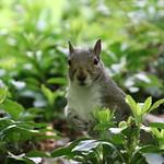 331/365/3618 (May 8, 2018) - Squirrels of The University of Washington - May 8th, 2018 (Seattle, Washington) thumbnail