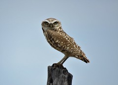 Every Once in Awhile He Gives a Hoot (Patricia Henschen) Tags: burrowingowl owl burrowing easternplains elpasocounty falcon colorado roadside fence post countryside ranch rural