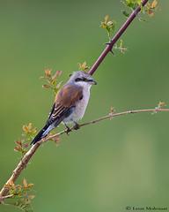 Red-backed Shrike (J) (leendert3) Tags: leonmolenaar southafrica wildlife nature birds redbackedshrike krugernationalpark ngc npc coth5