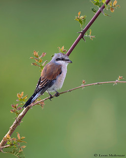 Red-backed Shrike (J)