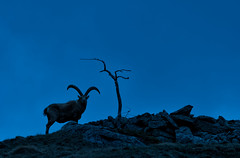 The lonely ibex (marypink) Tags: parconazionalegranparadiso ceresolereale piemonte valleorco stambecco capraibex alpineibex nikond500 nikkor80400mmf4556 mountains silhouettes