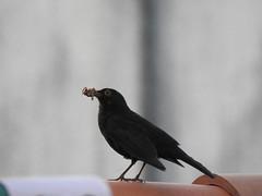 Merle noir (chriscrst photo66) Tags: animal oiseau merlenoir nourriture