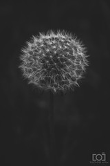 132/365 - B&W Dandelion (Forty-9) Tags: photoaday 2018 efs1785mmf456isusm forty9 3652018 365 blackandwhite 12thmay2018 tomoskay bw saturday lightroom canon may 132365 efslens day132 eos60d project3652018 dandelion project365 12052018 flower