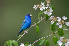 Indigo Bunting Singing (www.studebakerstudio.com) Tags: indigo indigobunting bunting bird songbird nature wildlife singing song spring flowers