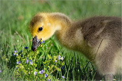 Happy Mothers Day (soupie1441) Tags: london ontario canada mothersday goose gosling flower nikon d7200