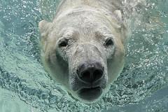 The Nik-ster (ucumari photography) Tags: ucumariphotography polarbear ursusmaritimus oso bear animal mammal nc north carolina zoo osopolar ourspolaire oursblanc eisbär ísbjörn orsopolare полярныймедведь nikita april 2018 dsc7118 specanimal