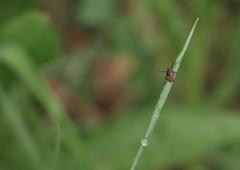 tique (bulbocode909) Tags: valais suisse tiques nature herbes printemps vert rouge