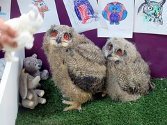 Bonnie and Clyde (billnbenj) Tags: barrow cumbria owl raptor birdofprey chick 5weeksold eurasianeagleowl