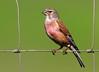 Pintarroxo-comum (Linaria cannabina) (Joaquim Antunes) Tags: pintarroxocomum linariacanabina linnet bluthänfling pardillocomún linottemélodieuse avesemportugal birdsinportugal birdwatching avibase birding
