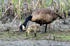 Mom, can I eat that?....6O3A1070A (dklaughman) Tags: canadagoose gosling bombayhooknwr delaware