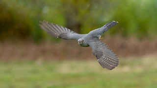 Incoming Cuckoo