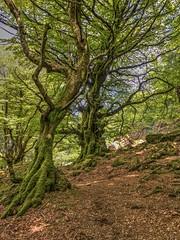 Pays Basque (FRANCOIS VEQUAUD) Tags: paysbasque mondarrain montagnes arbres vieuxhêtres nature bois 64 pyrénéesatlantiques