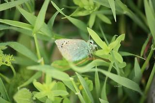 Mariposa diurna conocida por Cardenillo -  Tomares ballus