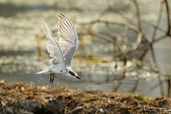 Whiskered Tern (!! Michael Francis !!) Tags: canon7dmkii 400mm f4 do is ii