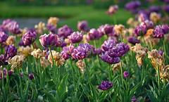 Golden Hour Tulips (Lala Lands) Tags: springtulips pastperfect tempusfugit purple orange capengarden goldenhour bokeh shallowdof nikkor105mmf28 nikond7200