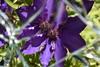 DSC_3722 (griecocathy) Tags: miroir macro fleur feuille clématite coeur pétale brisée doubler violet vert