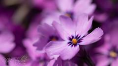 A field of Purple (DJNstudios) Tags: flower flowers bloom blossom spring petal petals pollen cherry buttercup macro macrophotography lenses bokeh depth field dof