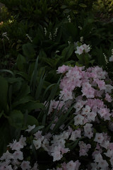 XX20180511a7707Bias-1.7 stops.jpg (rachelgreenbelt) Tags: ghigreenbelthomesinc usa eudicots greenbelt northamerica asteridsclade ouryard americas orderericales midatlanticregion familyericaceae subfamilyericoideae rhododendrongenus maryland lightpinkflowers rhododendroncultivar