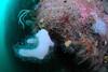 ScotlandWest-201804-Oban-AulistonPt-1-Coral-DeadmansFingers-OffTheWall-AlcyoniumDigitatum (Tony J Gilbert) Tags: wwwlochalineboatscouk scotland scubadiving marine diving marinefish nikond300 60mmlens 105mmlens underwater underwaterphotography travel travelogue scottishtravel scottishscubadiving scottishlandscapes scottishwildlife