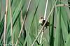 Acrocephalus scirpaceus - Reed Warbler (bollejeanclaude) Tags: rouserolles oiseaux passeraux insectivores photos nature birds vogels éghezée wallonie belgique be nikoniste nikond750