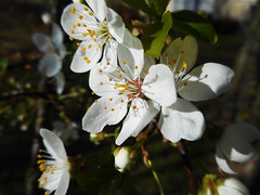 Spring in the Air...(10) (rimasjank) Tags: blossom spring cherry tree nature