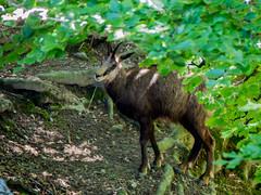 20180521-P1680327 (Dudli Photography) Tags: wildschwein damhirsche murmeltier gems waldkatze peter und paul