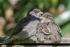 Young sparrows (pstani) Tags: england europe greatbritain haroldpark haroldwood london passerdomesticus bird fauna garden housesparrow mygarden sparrow