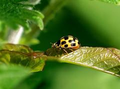 14 Spot Ladybird ---- Propylea quattuordecimpunctata (creaturesnapper) Tags: coccinellidae ladybirds coleoptera beetles uk europe insects 14spotladybird propyleaquattuordecimpunctata