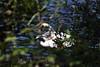 Schwan (Michael Döring) Tags: gelsenkirchen buer bergersee schlosberge schwan swan cygnet tc14eii afs200500mm56e d7200 michaeldöring