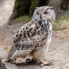 IMG_0427 (BmB's) Tags: birds owls pairi daiza