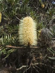 Banksia (Baractus) Tags: banksia bruny island tasmania australia john oates inala nature tours