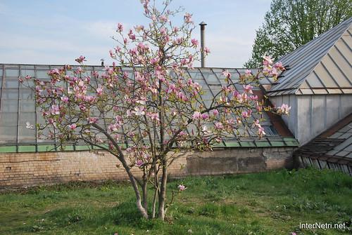 Ботанічний сад імені Гришка Цвітуть магнолії InterNetri  Ukraine 182