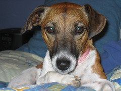 in bed (mjandina) Tags: dog terrier jackrussell