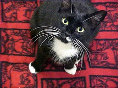 Awesome little tuxedo cat or big tuxedo kitty by Pixel Packing Mama
