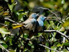 Cozy (Makgobokgobo) Tags: africa bird garden gaborone botswana waxbill bluewaxbill uraeginthusangolensis bluebreastedcordonbleu uraeginthus rabiibii