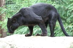 Black Panther (tim ellis) Tags: black animal cat leopard panther blackbeauty carnivore santago msh0813 msh08131