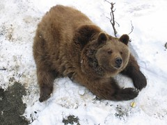 Bear of Bern