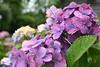 Hydrangea (ramislevy) Tags: blue flower purple nantucket hydrangea bokehsoniceaugust abigfave bokehsoniceaugust11