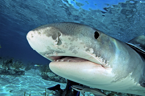 Tiger Shark Close Up