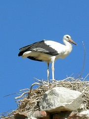 Stork, Selcuk - by dachalan