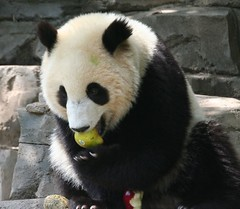 Pear, apple and ummm, what's dat other thing? (somesai) Tags: apple animal animals panda yum tian tai nationalzoo endangered ts pandas meixiang taishan dczoo butterstick pandaunlimited